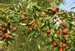 albero dello giuggiolo